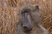 Chacma baboon in Kruger