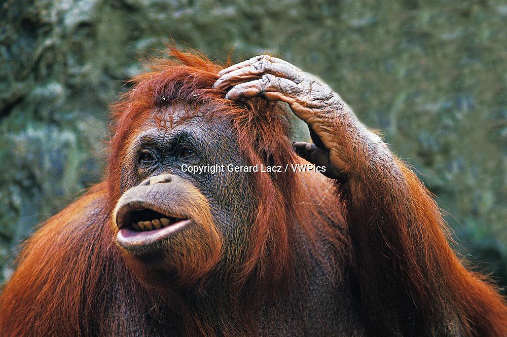 ORANG UTAN pongo pygmaeus, FEMALE SCRATCHING HEAD