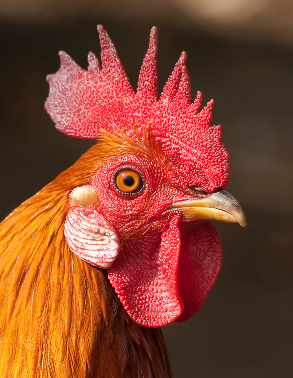 Close up of rooster with a red comb