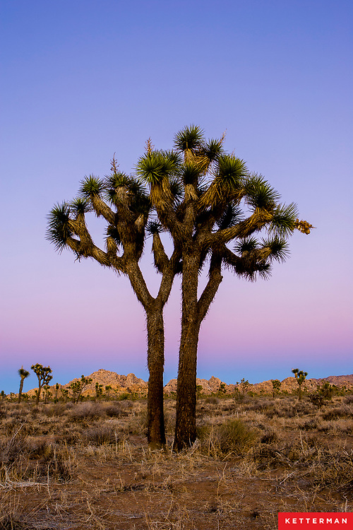 The Joshua tree is a giant member of the lily family and an important part of the Mojave Desert ecosystem.  Legend has it that Mormon pioneers named the tree after the biblical figure, Joshua, seeing the limbs of the tree as outstretched guiding the travelers westward.