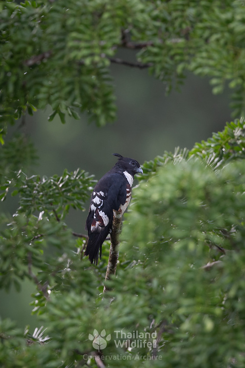 The black baza (Aviceda leuphotes) is a small sized bird of prey found in the forests of Thailand. The black bazas have short, stout legs and feet with strong talons. A prominent crest is a feature of the bazas. They are found in dense forest often in small groups.