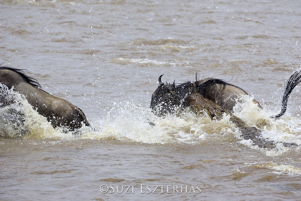 Nile Crocodile<br /> Crocodylus niloticus<br /> Maasai Mara Reserve, Kenya<br /> Attacking wildebeest