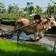 Een lokale boer prepareert op traditionele wijze met waterbuffel een sawah rijstveld op Java, Indonesi&euml;.<br /> <br /> Indonesi&euml; is een van de grootste rijstproducenten ter wereld. Rijst is dan ook een belangrijk product voor de nationale economie en eigen voedselvoorziening.
