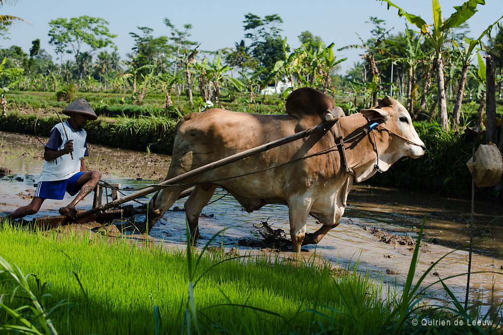 A local farmer cultivates a rice field in a traditional way with a water buffalo also known as karbouw.<br /> <br /> Indonesia is one of the largest rice producers in the world. Rice is an important product for the national economy and main ingredient for the the Indonesian cuisine. Water is crucial for producing rice on sawah's. The water comes from rain or irrigation held in the sawah bedding.