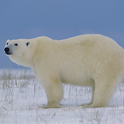 An adult polar bear waiting for Hudson Bay to freeze. Manitoba, Canada