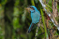 Turquoise Jay [Cyanolyca turcosa] perched with nest material; Guango Lodge, Ecudor