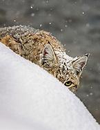 bobcat Bobcat (Lynx rufus) in winter habitat