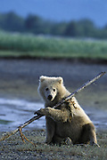 Alaskan Brown Bear<br /> Ursus arctos middendorffi<br /> yearling cub playing with stick<br /> Katmai National Park, AK