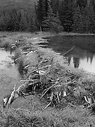 A beaver dam holds back the water on Horseshoe Lake, Denali National Park, Alaska, on an overcast day.