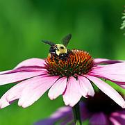 Bumble Bee on Pink Echinacea
