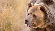 Grizzly Bear in the field