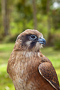 The plumage of teh Brown Falcon is highly variable, and is often mistaken for other bird species.  This particular falcon is a Red-breasted Brown Falcon.