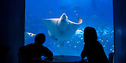 Okinawa Aquarium, Japan. Giant Manta Ray passing by the dinning area.