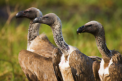Three white-backed vultures (Gyps africanus) stand in a row waiting for wild dogs to move from kill, Chobe National Park, Botswana, Africa