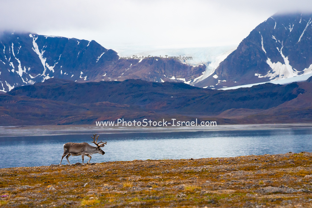 A male Svalbard Reindeer (rangifer tarandus platyrhynchus) on the tundra in summer with his antlers still in velvet. This herbivorous mammal is the smallest subspecies of reindeer. It lives for approximately nine years and is endemic to the islands of Svalbard. Photographed in Longyearbyen, Svalbard. in July