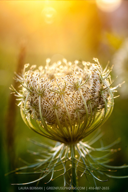 The iconic North American perennial wildflower, Queen Anne's Lace, back lit  by the setting sun.