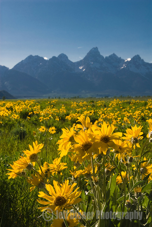 A field of wildflowers blooms in front of the Tetons in Grand Teton National Park, Jackson Hole, Wyoming.
