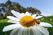 Braune Krabbenspinne (Xysticus cristatus), auch Busch-Krabbenspinne genannt | crab spider (Xysticus cristatus)