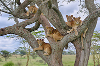 Lion (Panthera leo) pride in a tree all looking in the same direction, Serengeti