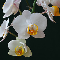 White Orchids flowers fine art photography images are available as museum quality photography prints, canvas prints, acrylic prints or metal prints. Flower fine art prints may be framed and matted to the individual liking and decorating needs at<br />