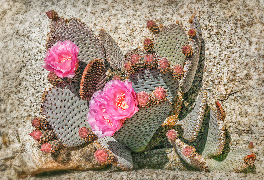 Catus blooming from a rock formation in the Southern California Desert.