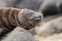Galapagos sea lion pup on North Seymour Island in the Galapagos National Park and Marine Reserve, Ecuador.
