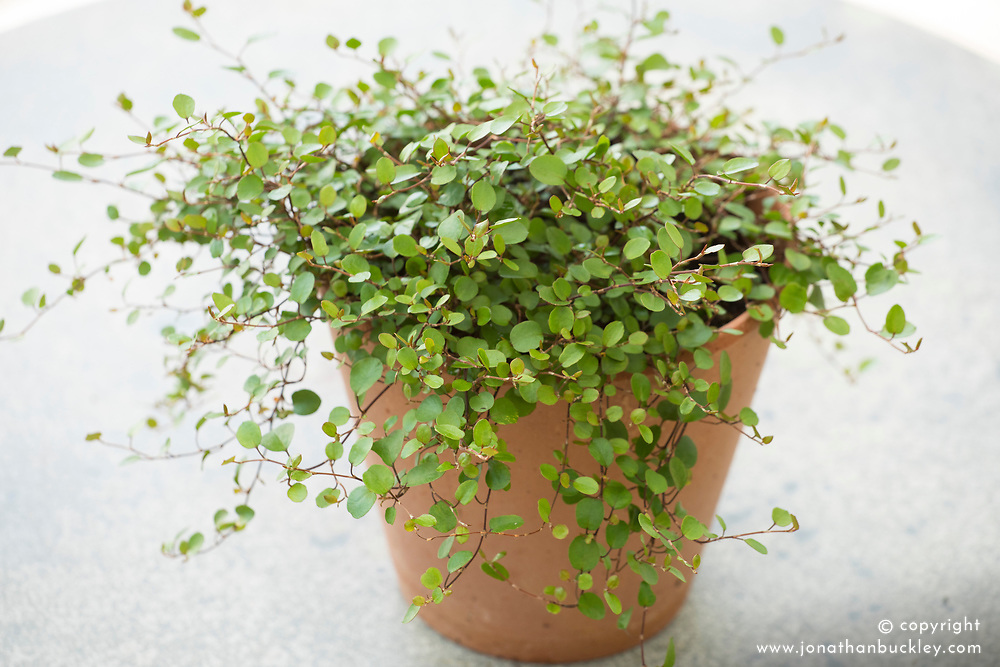 Muehlenbeckia complexa in a terracotta pot - Maidenhair vine
