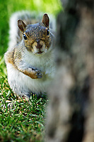 A squirrel peeks around a tree Wednesday at the Coeur d'Alene Public Golf Course as it forages for food in the grass.