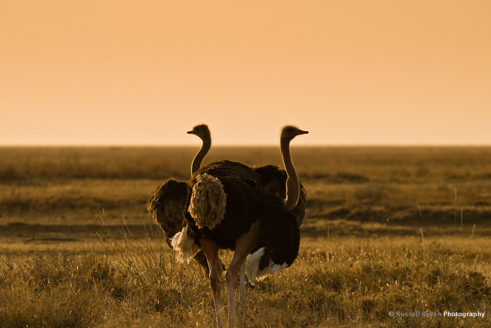 Two Ostriches on the morning savanna in the Serengeti National Park, Tanzania