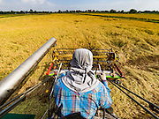 """23 NOVEMBER 2016 - AYUTTHAYA, THAILAND: A worker operates a rice harvester during the rice harvest in Ayutthaya province, north of Bangkok. Rice prices in Thailand hit a 13-month low early this month. The low prices are hurting farmers. Rice exports account for around 10 percent of Thailand's gross domestic product, and low prices frequently lead to discontent in the rural areas of Thailand. The military government has responded by sending soldiers to rice mills, to """"encourage"""" mill owners to pay farmers higher prices. The Thai army and navy are also buying for their kitchens directly from farmers in an effort to get more money into farmers' hands.  PHOTO BY JACK KURTZ"""