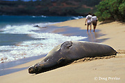 endangered Hawaiian monk seal, Monachus schauinslandi, resting on beach, Kauai, Hawaii ( Central Pacific Ocean )