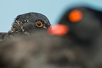 African Black Oystercatcher chick standing behind an out of focus adult, De Hoop Nature Reserve and marine protected area, Western Cape, South Africa