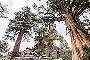 Alpine trees. Off Highway 88 near Carson Pass, hike a varied loop through lush wildflower fields from Woods Lake Campground to Winnnemucca Lake then Round Top Lake, in Mokelumne Wilderness, Eldorado National Forest, Sierra Nevada, California, USA. The excellent loop trail is 5.3 miles with 1250 feet gain (or 6.4 miles with 2170 feet gain if adding the scramble up Round Top).