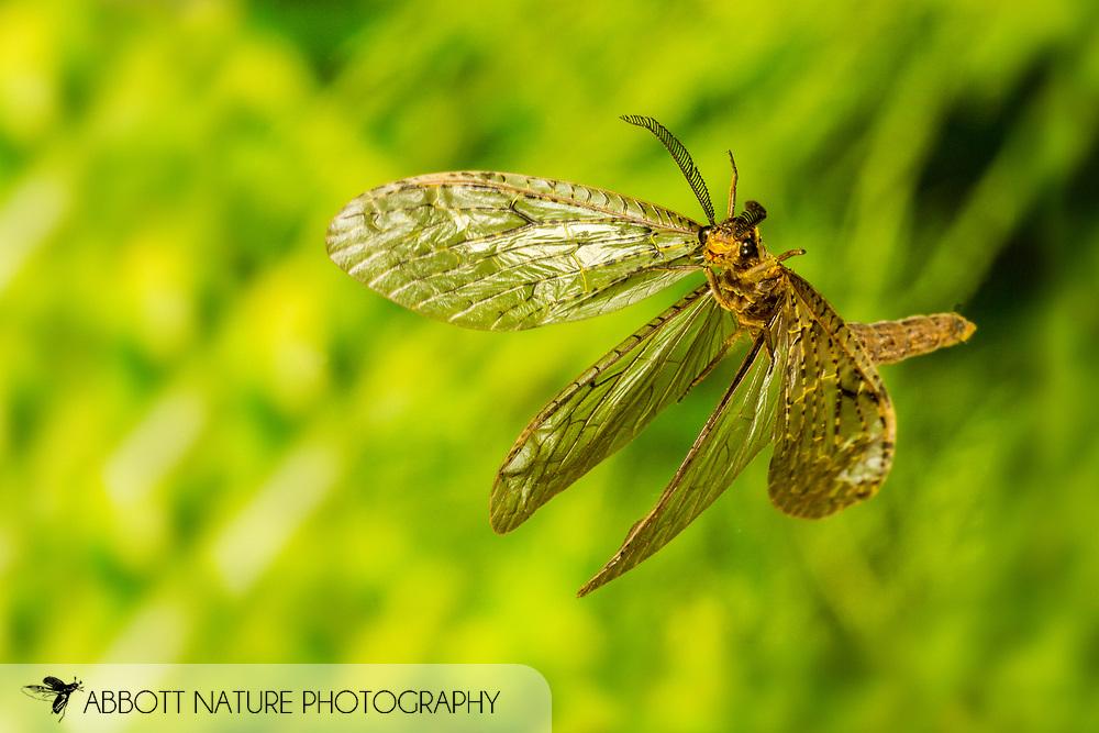 Spring Fishfly (Chauliodes rastricornis) flying<br /> United States: Alabama: Tuscaloosa Co.<br /> Tulip Tree Springs off Echola Rd.; Elrod<br /> 1-Sep-2016<br /> J.C. Abbott #2862