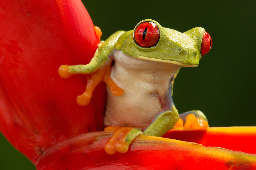 Red-Eyed Tree Frog <br />