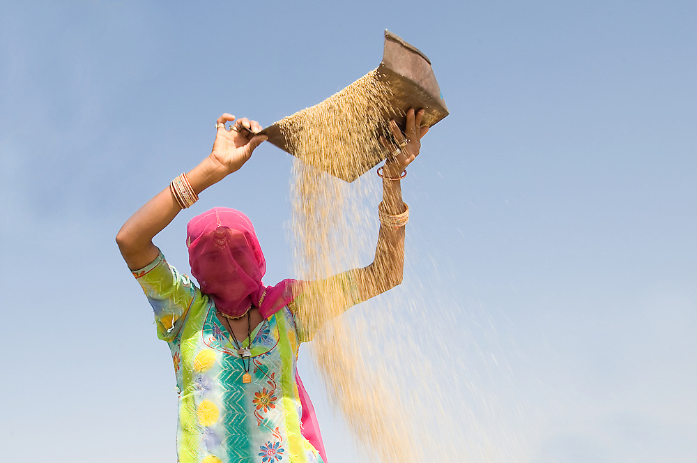Rajasthani woman working in the field, busy shifting the wheat from the chaff (India)