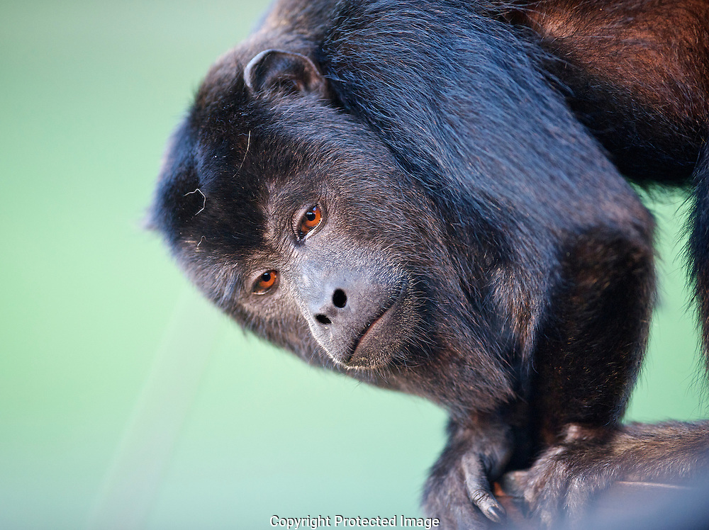 Black Howler Monkey. (Alouatta caraya) male., Araras Eco Lodge, Matto Grosso, Brazil, Isobel Springett
