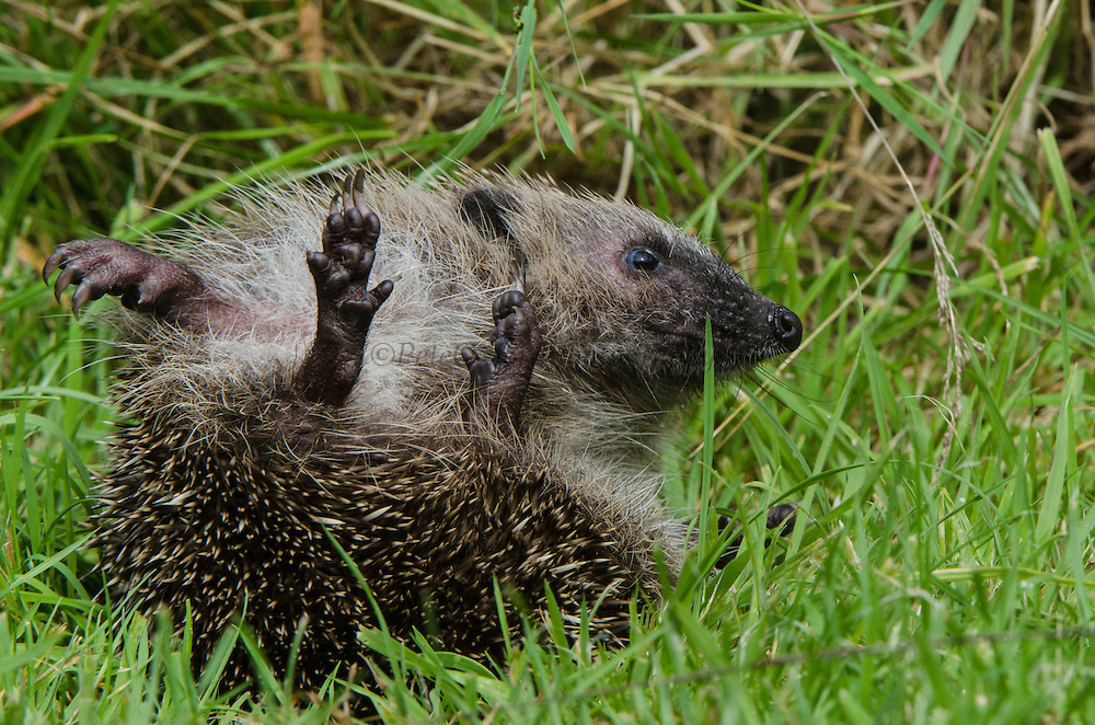 European Hedgehog (Erinaceus europaeus)<br /> Secret World Wildlife Rescue Center<br /> Somerset<br /> England<br /> UK<br /> captive