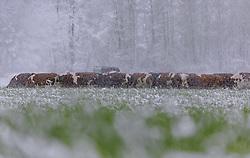THEMENBILD - eine Kuhherde in dichtem Schneegestöber auf einem Feld, aufgenommen am 05. Mai 2019, Kaprun, Österreich // a herd of cows in thick snow flurries in a field on 2019/05/05, Kaprun, Austria. EXPA Pictures © 2019, PhotoCredit: EXPA/ Stefanie Oberhauser