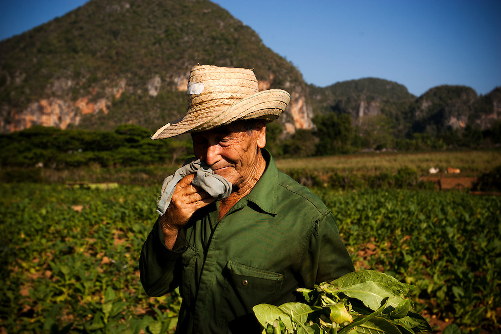 A Cuban farmer harvests tobacco in Vinales, Cuba, on Monday, April 22, 2008. The average Cuban earn less then $20 a month.