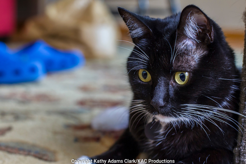 """Domestic cat, a """"tuxedo"""" shorthair named Socks, with a red collar and tag indoors."""