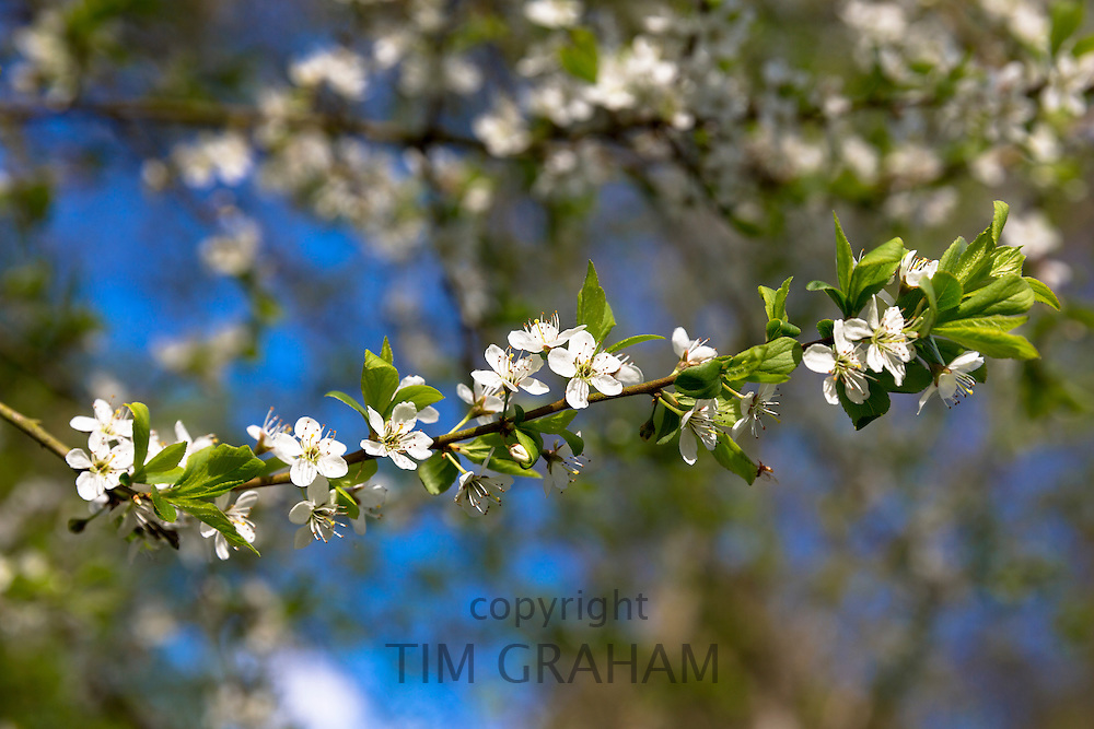 Common Hawthorn blossom, Crataegus monogyna, on tree branch as Spring turns to Summer, United Kingdom