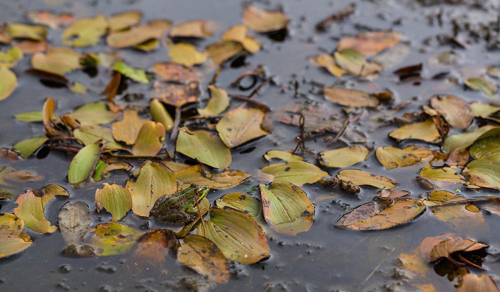 PEREZ´S FROG (Pelophylax perezi), Campanarios de Azaba Biological Reserve, Salamanca, Castilla y Leon, Spain, Europe