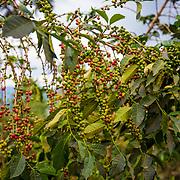 Coffee trees are shown on the hillsides near Dukundekawa Cooperative. Photographed on Thursday, April 27, 2017.  (Joshua Trujillo, Starbucks)