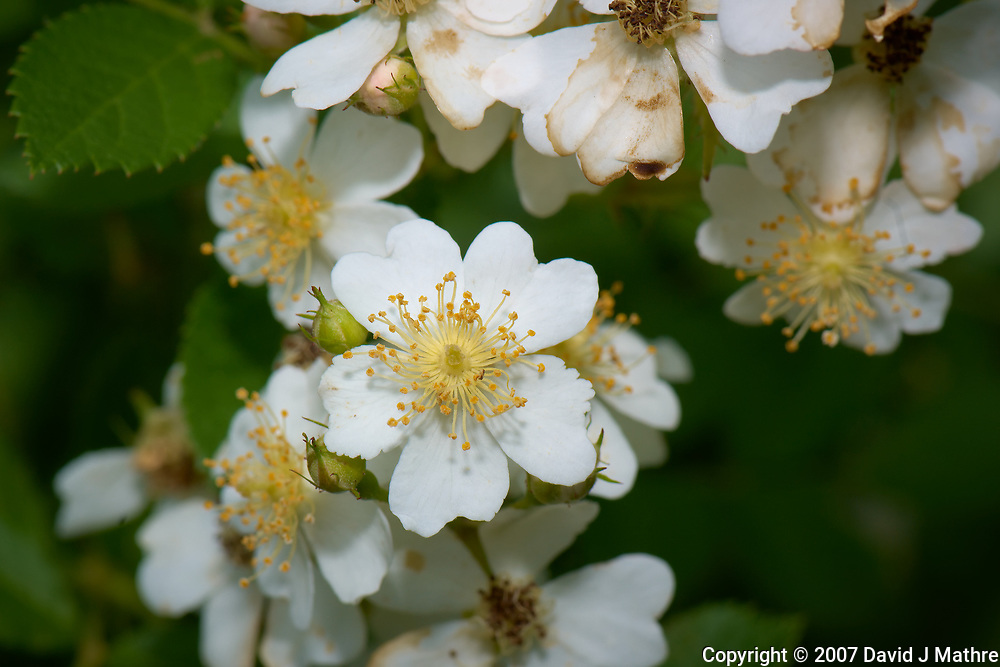Wild raspberry flowers. Backyard spring nature in New Jersey. Image taken with a Nikon D2xs camera and 105 mm f/2.8 VR macro lens (ISO 100, 105 mm, f/11, 1/125 sec).