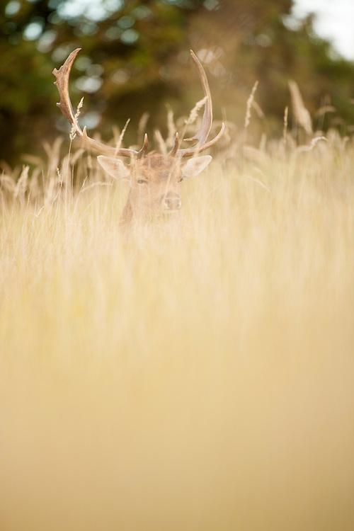 Fallow deer (Dama dama) resting during the rut. Amsterdamse waterleidingduinen, The Netherlands. October 2012.