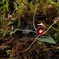 Helmet Orchid (Corybas pictus)