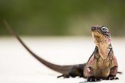 Close up portrait of an Iguana on the beach near Staniel Cay, Exuma, Bahamas