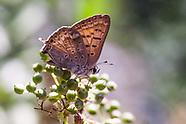 Lycaena arota nubila - Tailed Copper