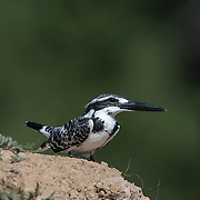 The pied kingfisher (Ceryle rudis) is a water kingfisher and is found widely distributed across Africa and Asia.
